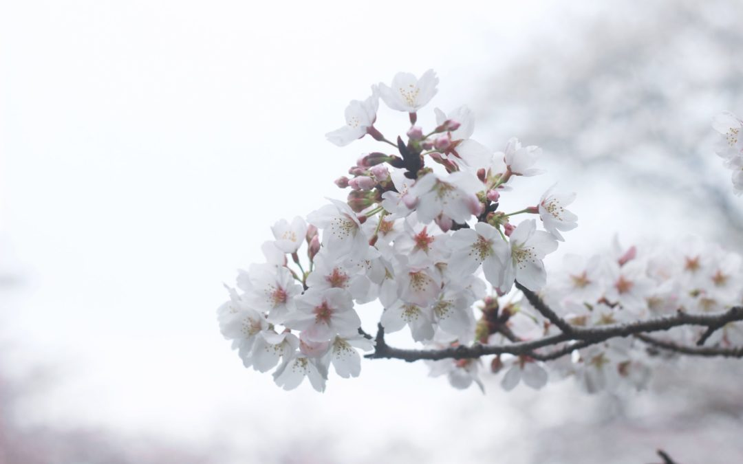 Almond trees in bloom (February to March)